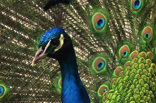 peacock-warsaw